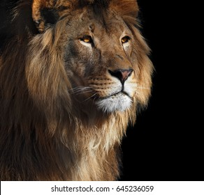 Lion's profile portrait with yellow eyes isolated at black