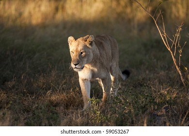 lions in sabi sands game reserve, south africa