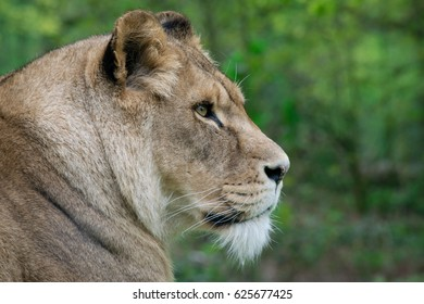 Lions at the Safari