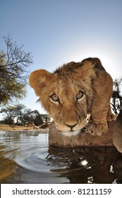Lions in south africa