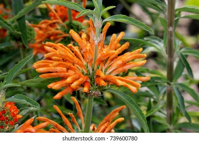 Lion's tail, Wild dagga, Leonotis leonurus, evergreen shrub with dark green linear-lanceolate leaves, aromatic when crushed, and orange tubular velvety flower in tiered whorls