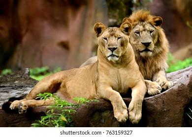 Lions at Ubon Ratchathani Zoo Thailand