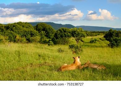 Lions in an unusually lush green savanna