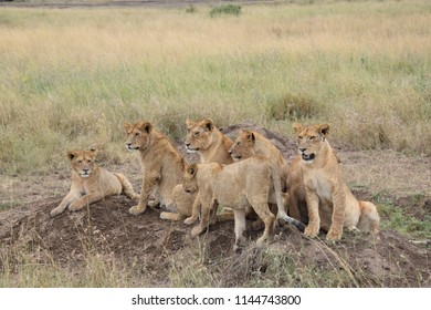 Lions waiting for parents to bring food