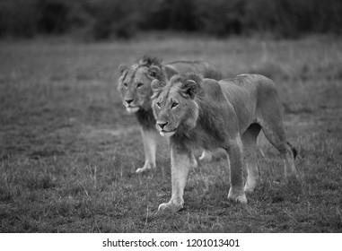 Lions walking on the grass, Masai Mara
