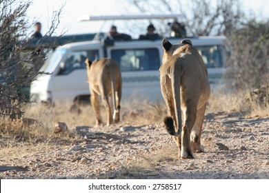 Lions walking towards a van full of tourists on safari