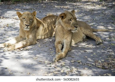lions in wild