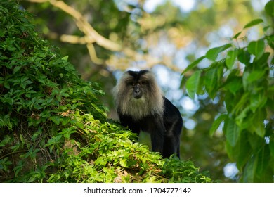 The lion-tailed macaqu is an Old World monkey endemic to the Western Ghats of South India