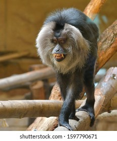 The lion-tailed macaque (Macaca silenus)