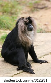lion-tailed macaque, macaca silenus, sitting relaxed looking strait forward