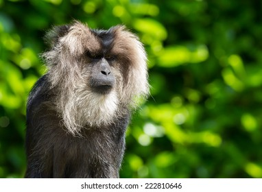 lion-tailed macaque Portrait. Its also known as wanderoo, bartaffe, beard ape and macaca silenus.
