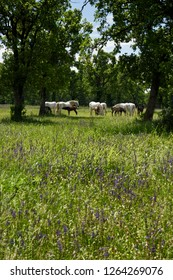 Lipica, Sezana, Slovenia - May 17, 2017: White Lipizzaner mares nursing dark foals while grazing in a flowery meadow at the Lipica Stud Farm at Lipica Sezana Slovenia
