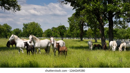 Lipica, Sezana, Slovenia - May 17, 2017: Panorama of white Lipizzaner mare horses with dark foals grazing in a meadow with grass and flowers at the Lipica Stud Farm at Lipica Sezana Slovenia