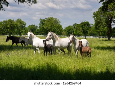 Lipica, Sezana, Slovenia - May 17, 2017: White Lipizzaner mares horse breed with dark foals grazing in a meadow with grass and flowers at the Lipica Stud Farm at Lipica Sezana Slovenia
