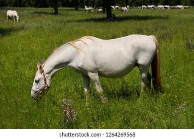 Lipica, Sezana, Slovenia - May 17, 2017: Close up of a white Lipizzaner horses with herd grazing in a meadow with grass and flowers at the Lipica Stud Farm at Lipica Sezana Slovenia