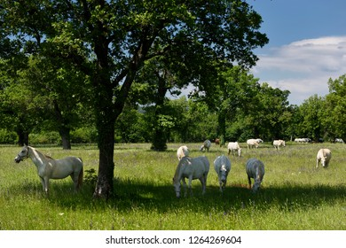 Lipica, Sezana, Slovenia - May 17, 2017: Herd of white Lipizzaner horses grazing in a grassy meadow at the Lipica Stud Farm at Lipica Sezana Slovenia