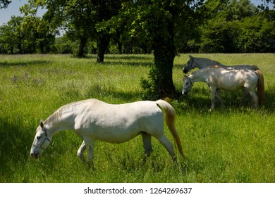 Lipica, Sezana, Slovenia - May 17, 2017: Three white Lipizzan horses grazing in a field at the Lipica Stud Farm at Lipica Sezana Slovenia