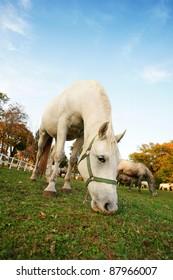Lipizzan horse  in early autumn evening