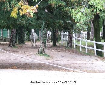 Lipizzan Horses Running - Lipica - Slovenia