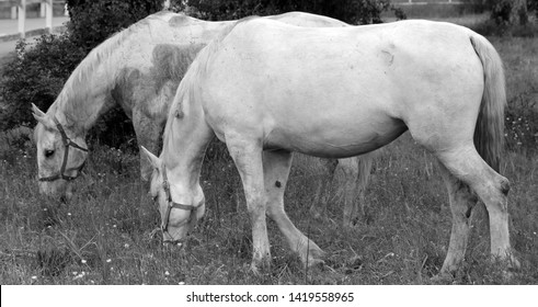 The Lipizzan, or Lipizzaner is a breed of horse originating from Lipica in Slovenia. Established in 1580, the Lipica stud farm is the world's oldest continuously operating stud farm.