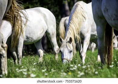 Lipizzaner in beautiful Lipica Stud with some flowers in front.