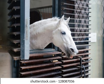 lipizzaner horse looking out of the stable in Vienna