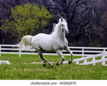 Lipizzaner horse running unbridled in corral surrounded  by a white fence