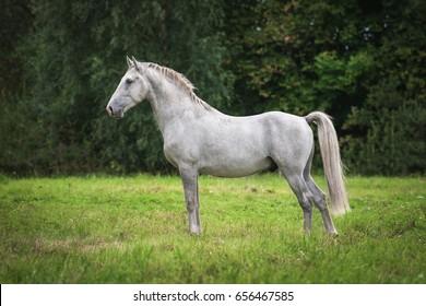 Lipizzaner horse in summer