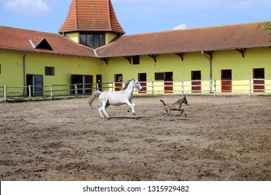 Lipizzaner horse and young foal running in corral