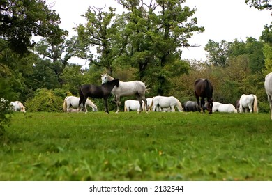 Lipizzaner Horses in the Field