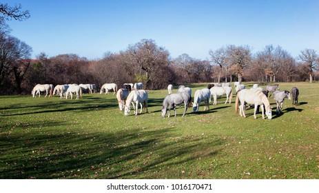 lipizzaner horses grazing in country meadow; location Lipica, Slovenia
