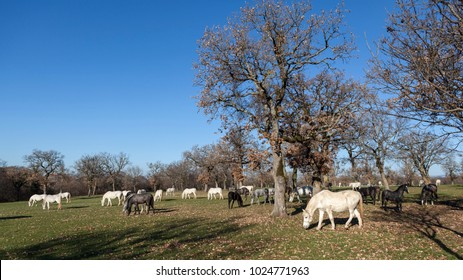 Lipizzaner horses grazing in country meadow among oak trees; location Lipica, Slovenia. Lipizzan horses are dark while young and turn to completely white at around age of seven years.