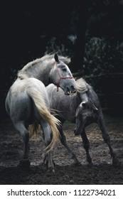 Lipizzaner horses on a stud farm in Croatia