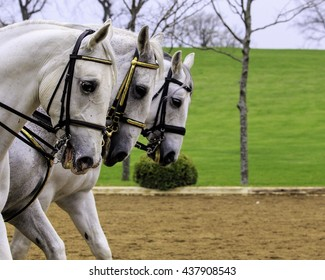 Lipizzaner horses in the performance ring bridled with riders in traditional dress, three horses