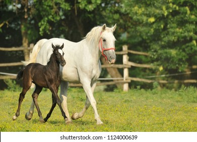 Lipizzaner mare with foal