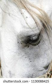 Lipizzaner white horse close up detail portrait in Lipica, Slovenia