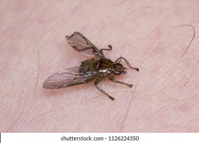 Lipoptena cervi, the deer ked or deer fly, is a species of biting fly in the family of louse flies, Hippoboscidae. insect on human skin.