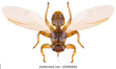 La lipoptena cervi, la mouche cerf-volant ou mouche de cerf, est une espèce de mouche qui mord dans la famille des mouches à souris, Hippoboscidae isolée sur fond blanc. Vue dorsale de la mouche de cerf.