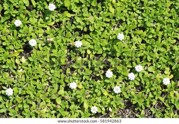 Lippia (ground cover plants)