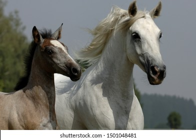 Lippizzaner horses side by side
