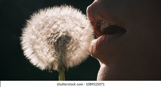 Lips and dandelion. A girl blowing a dandelion flower. Vegan, blowjob, intimate concept. Female mouth close-up. Braces and healthy teeth, fresh breath. Spring time. Flower and mouth on lack background