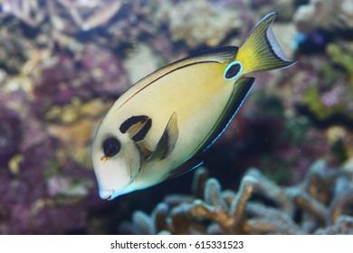 Lipstick Surgeon Fish