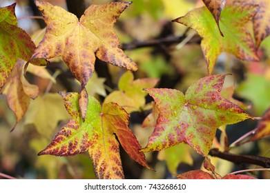 Liquid Amber Tree Leaves in Autumn