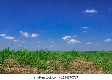 Liquid fertilizer being thrown in sugar cane plantation. Garapa.