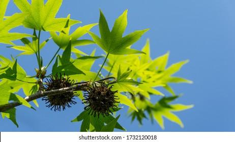 Liquidambar styraciflua oder amerikanischer Süßgum mit frischen grünen Blättern und spitzen schwarzen Kugeln Samen auf blauem Himmelshintergrund. Amber Baum Zweig in klaren sonnigen Tag im Frühjahrsgarten. Stelle für den Text