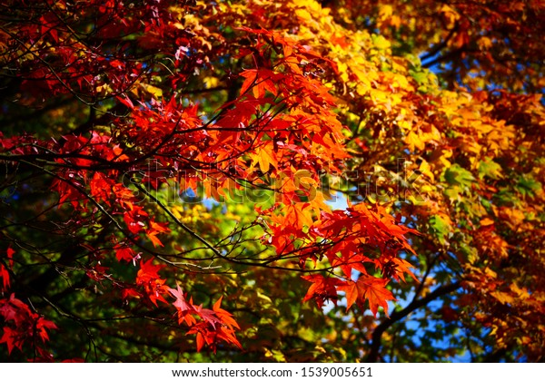 Liquidambar styraciflua tree red leafs close-up with vibrant orange yellow red and green colours