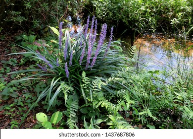 Liriipe, border grass or lily turf (Liriope muscari)