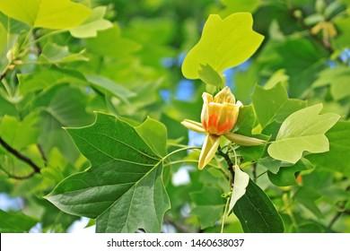 Liriodendron tulipifera—known as the tulip tree, American tulip tree, tulipwood, tuliptree, tulip poplar, whitewood, fiddletree, and yellow-poplar