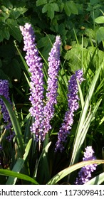 Liriope muscari, Asparagaceae family, is a species of low, herbaceous flowering plants from East Asia.