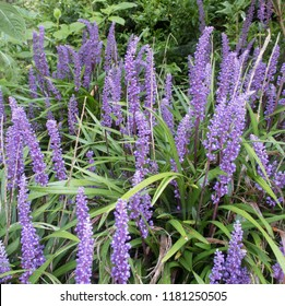 Liriope muscari (Big Blue Lilyturf) in a Country Cottage Garden in Rural Devon, England, UK